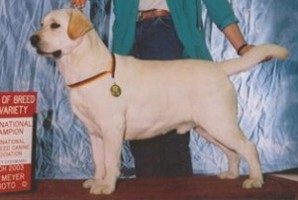 International Champion Brooklands Storm Surge Yellow Labrador